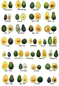 variedades-abacate